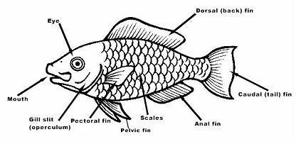 fish body parts worksheet for kindergarten animal body parts worksheets kindergarten part. Black Bedroom Furniture Sets. Home Design Ideas