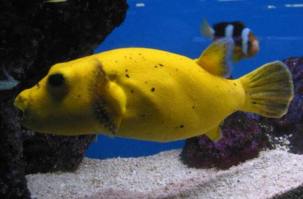Freshwater puffer fish for Saltwater fish sale